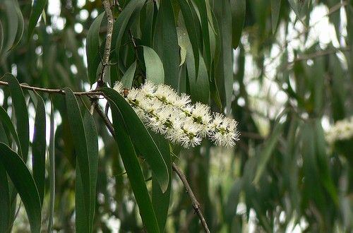 Cajeput Essential Oil Uses And Recipes