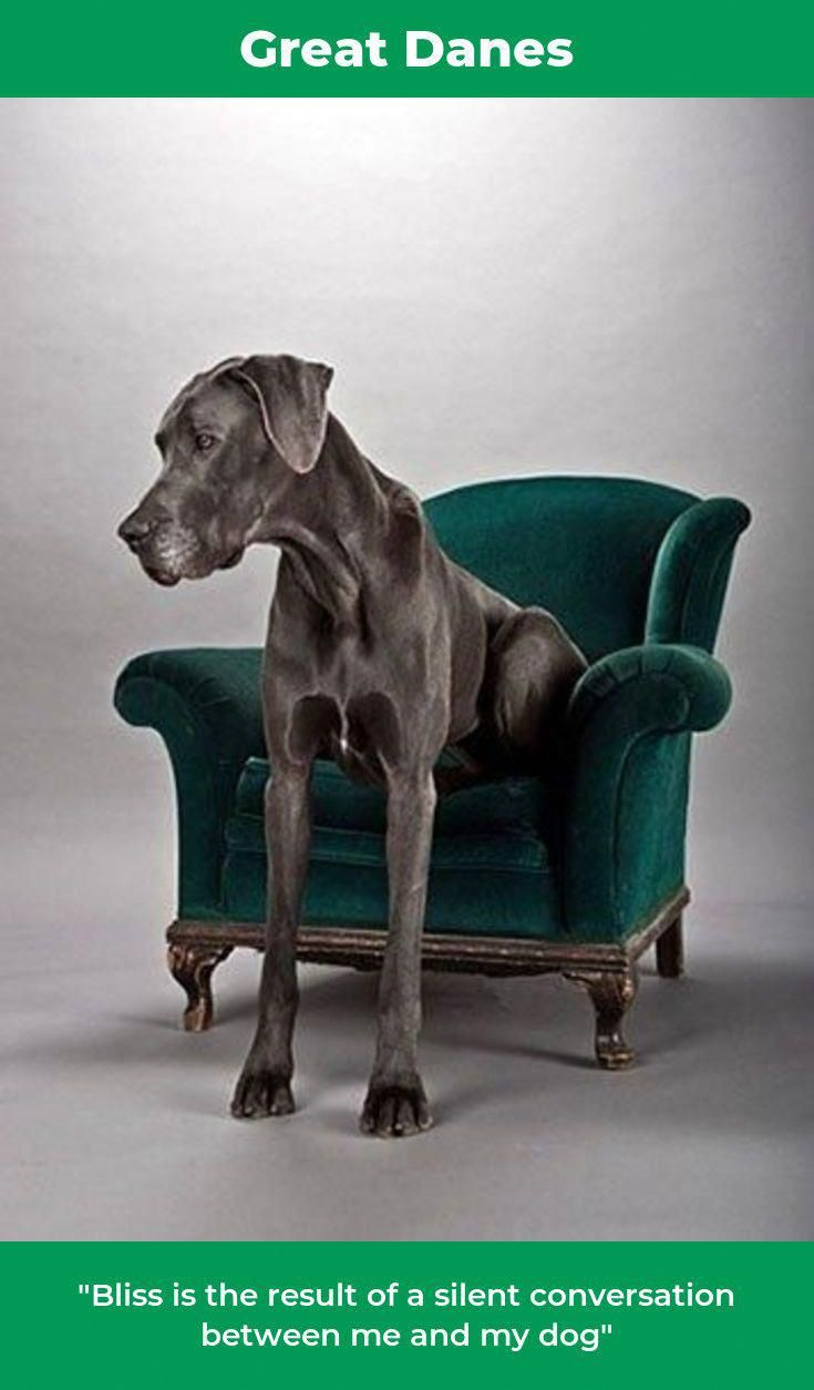 The Protective Great Danes Greatdaneboudoir Greatdaneswag