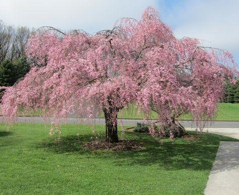Les 25 meilleures id es de la cat gorie planter cerisier sur pinterest - Faire pousser un cerisier ...
