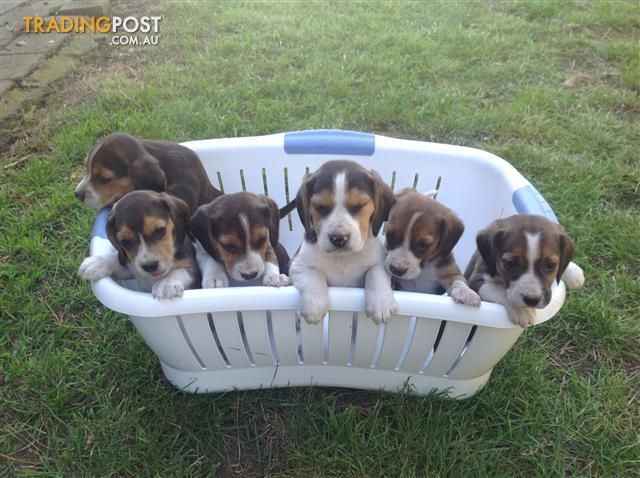 Beagle Puppies For Sale In Gisborne South Vic Beagle Puppies