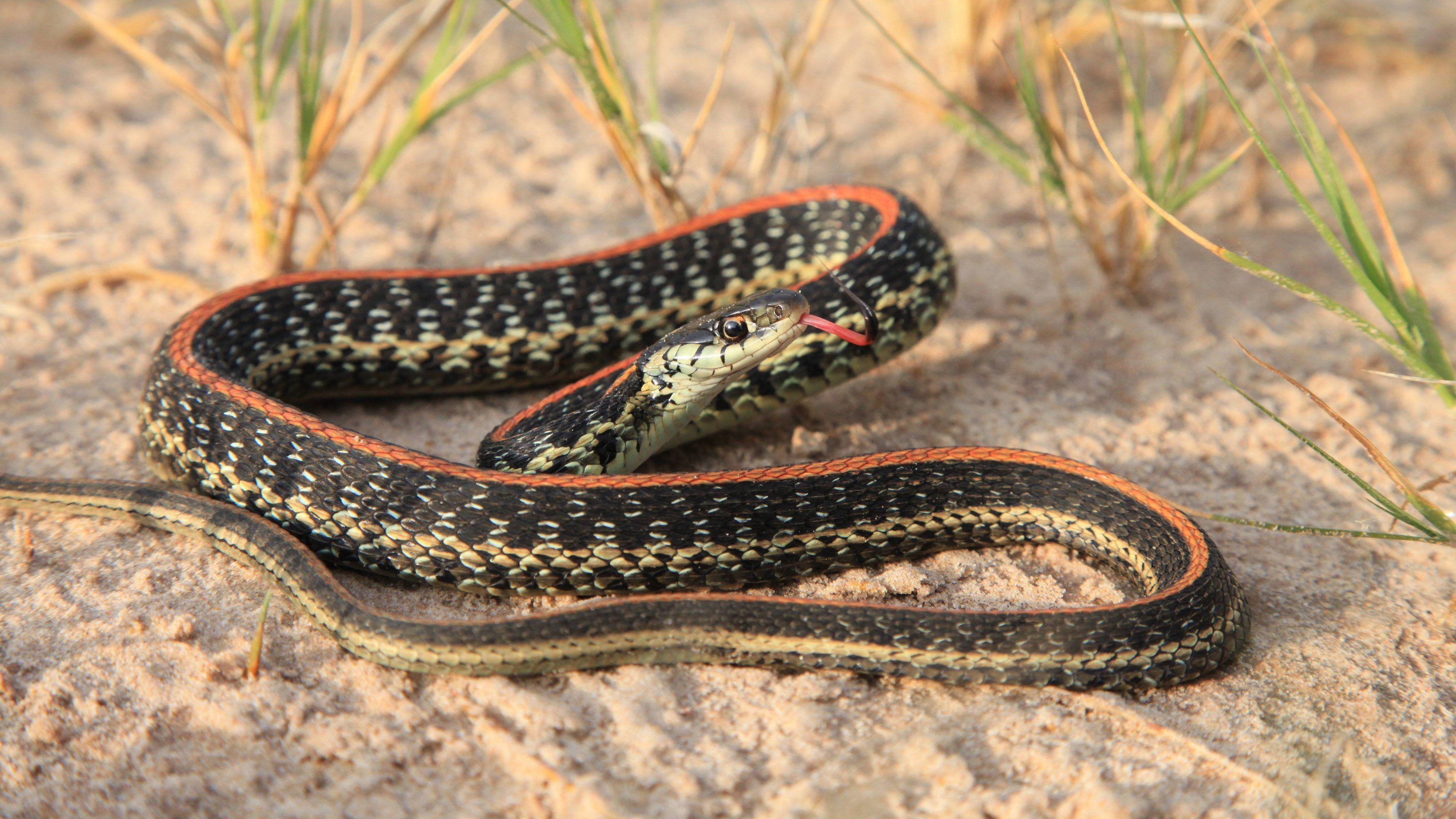 Texas Garter Snake | HD Snake Wallpapers | Pinterest | Snake and ...