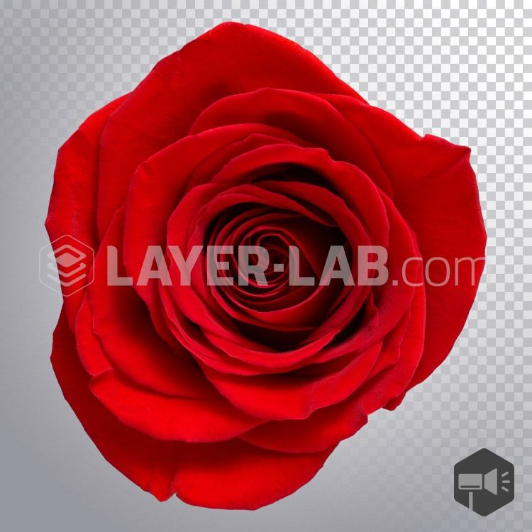 Beautiful Red Rose Png Image On Transparent Background Layer