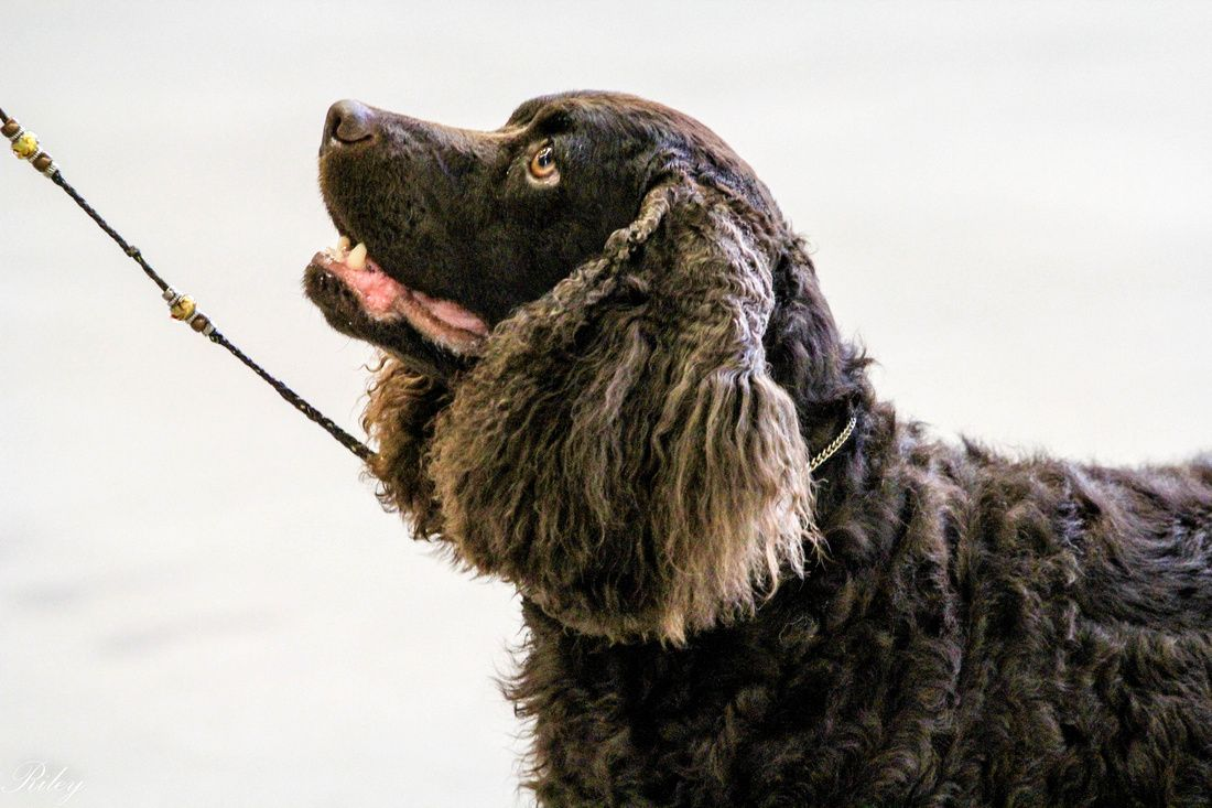American Water Spaniel Digger Shown By Linda Hattrem His Official Name Is Waterway Game Crk Hot Diggity Jh American Water Spaniel Dogs Spaniel Puppies