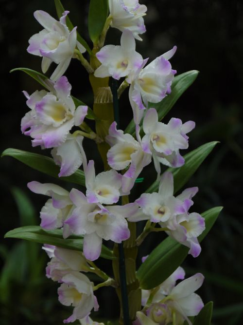 The Orchid Column How To Grow Dendrobium Nobile Dendrobium Nobile Dendrobium Orchids Beautiful Orchids