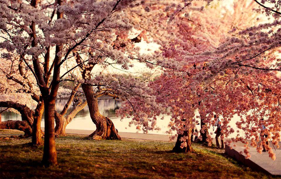 Cherry Blossoms Dc Cherry Blossom Wallpaper Amazing Nature Photos Cherry Blossom