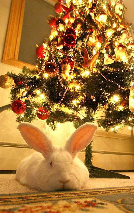 The Christmas Bunny.New Zealand White Rabbit Under The Christmas Tree Critters