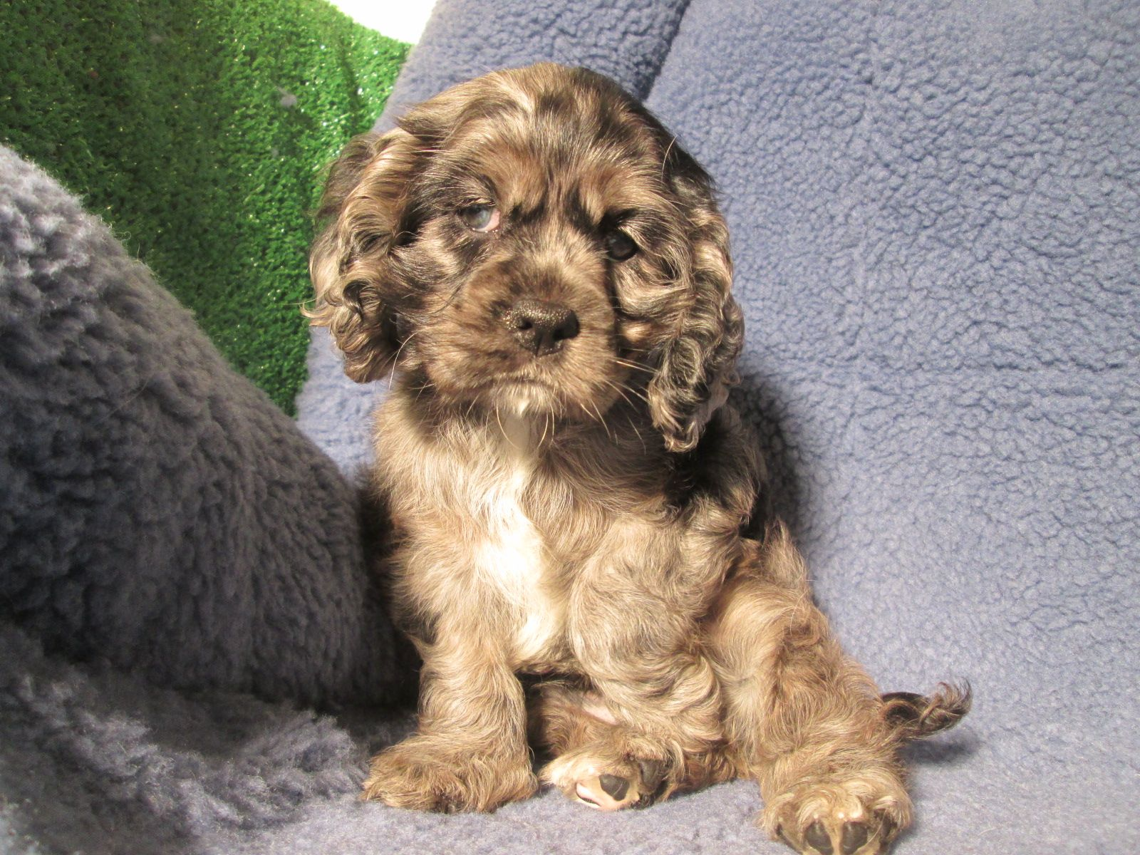 Stunning Cockalier Puppies Available Cocker Spaniel X Cavalier
