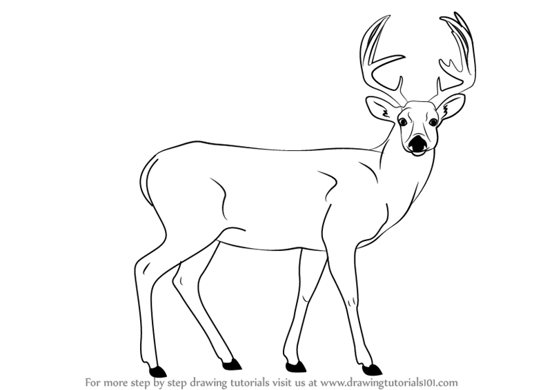 Learn How To Draw A Buck Deer Wild Animals Step By Step