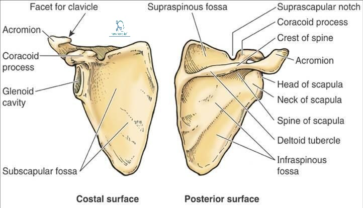 posterior tip of scapula - Google Search in 2020 | Scapula ...