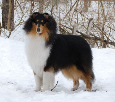Tricolor Collie Related To Cade Taliesin Lynmar S Kung Fu