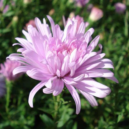 Top 15 most beautiful aster flowers aster flower aster and flower top 15 most beautiful aster flowers mightylinksfo