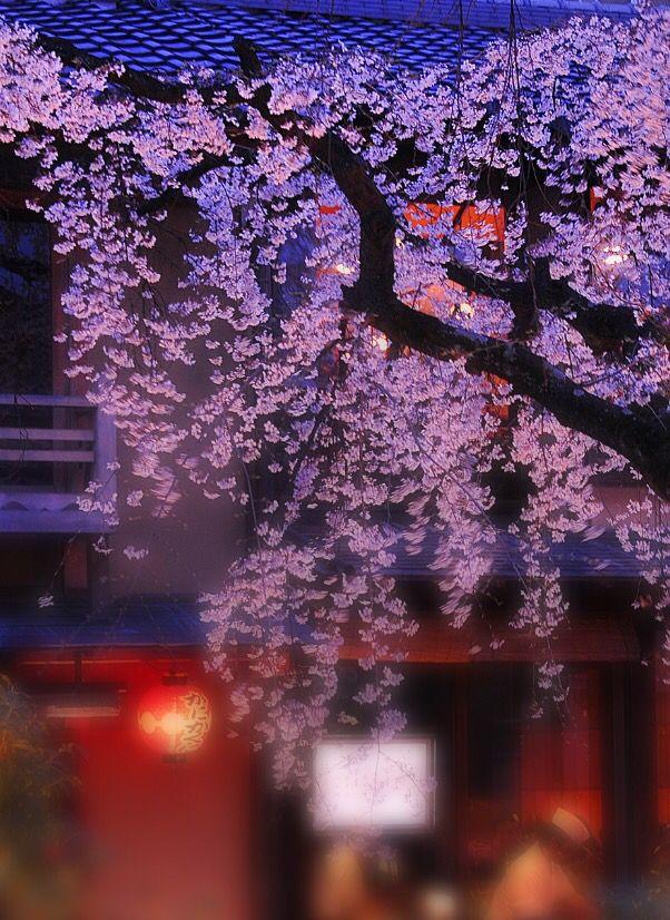 Cherry Blossoms At Night Shirakawa Kyoto Japanese Landscape Japanese Garden Plants Japanese Garden