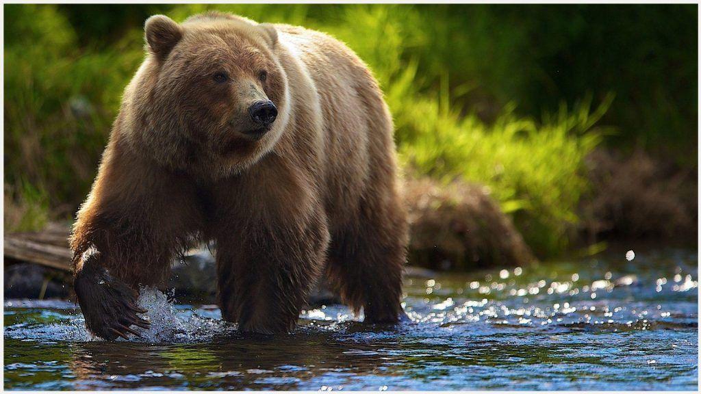Bear In Water HD Wallpaper bear in water hd wallpaper