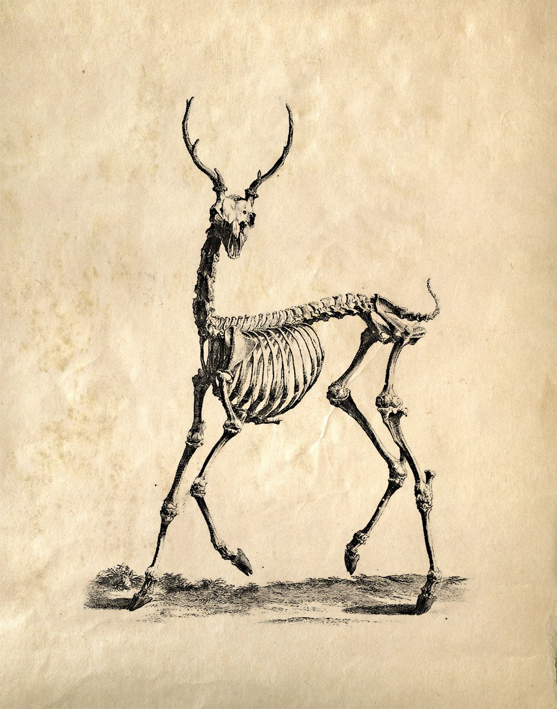 Vintage Science Animal Anatomy Study. Deer Skeleton. Educational ...