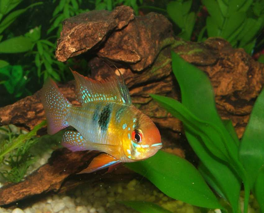 German Blue Ram Mikrogeophagus Ramirezi Tropical Fish Tropical Fish Tanks Fish
