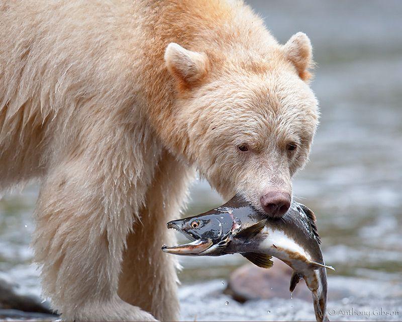 My Fish Great Bear Rainforest Spirit Bear Kermode Bear Bear Pictures