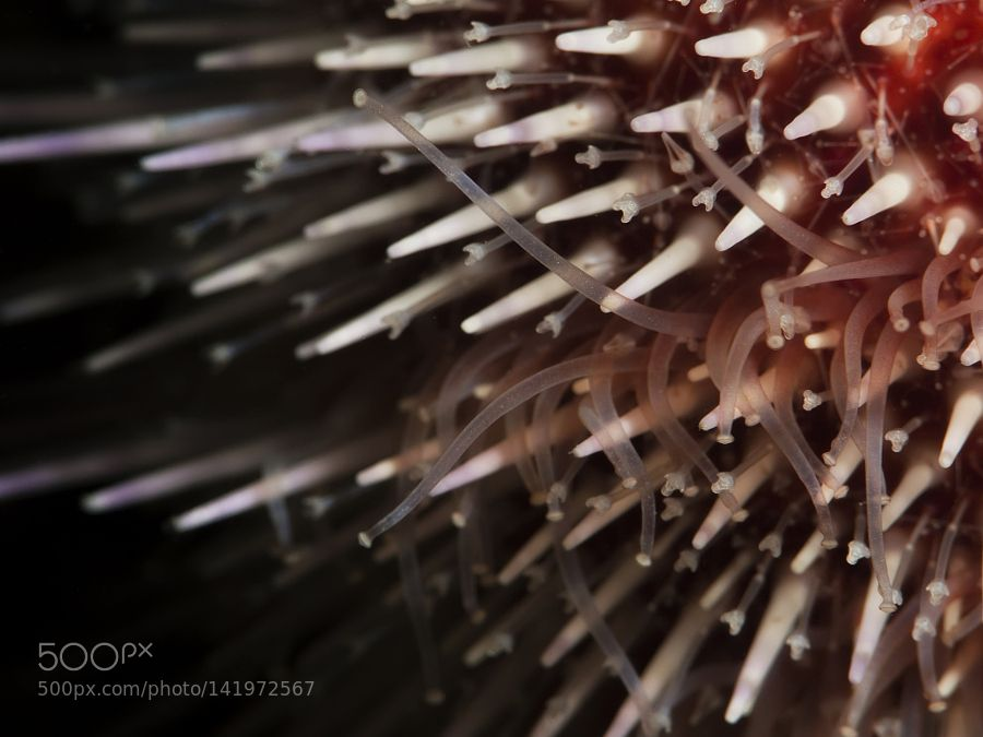 "lifeunderthewaves: "" Sea urchin (Echinus esculentus) macro by joakim_boneng A macro imge of tha common sea urchin, Echinus esculentus """