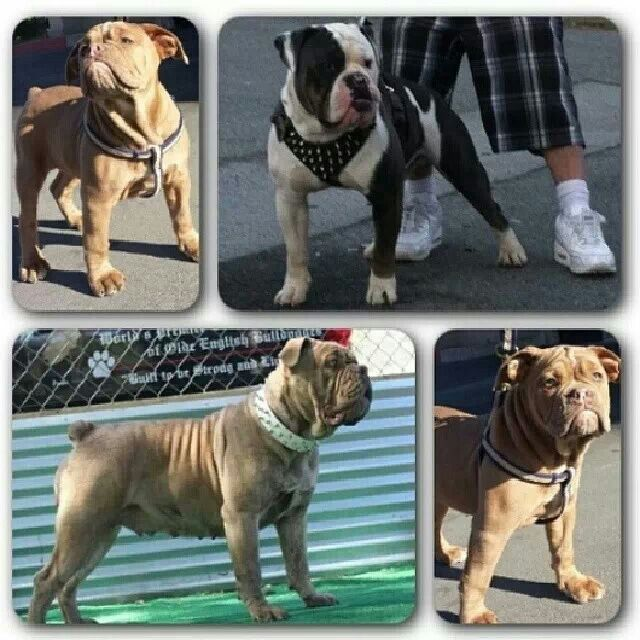 Www Oneofakindbulldogs Com Bulldog