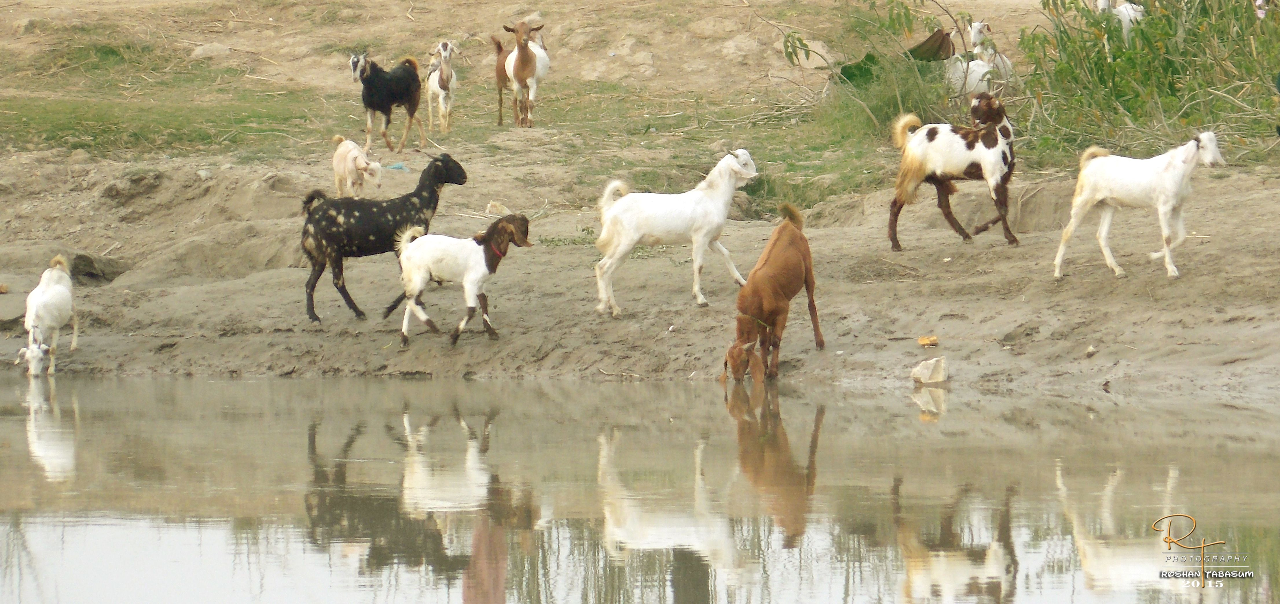 goats drinking water in river sindh culture pinterest drinking