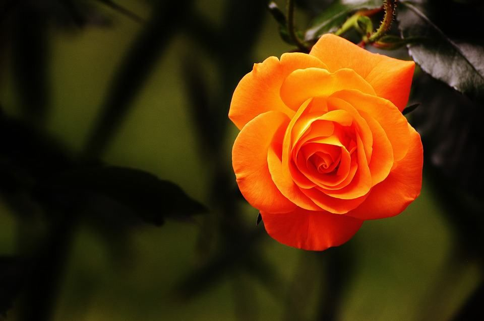 Orange Rose In 2020 Beautiful Rose Flowers Rose Images Hd Orange Roses