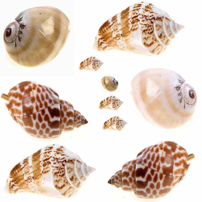 Unique real sea shells door knobs drawer pulls handles nautical ...