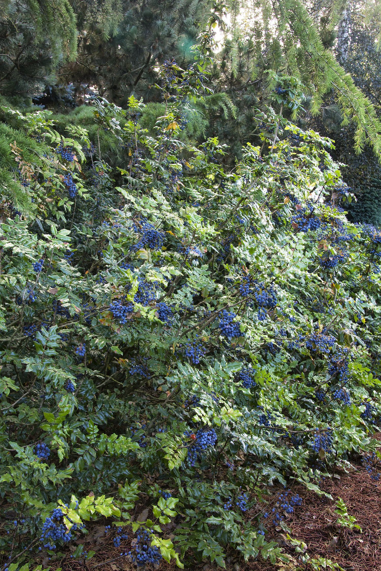 Oregon Grape Holly Mahonia Aquifolium A Beautiful Adaptable Native Evergreen Shrub Excellent Accent Irregu Oregon Grape Evergreen Shrubs Monrovia Plants