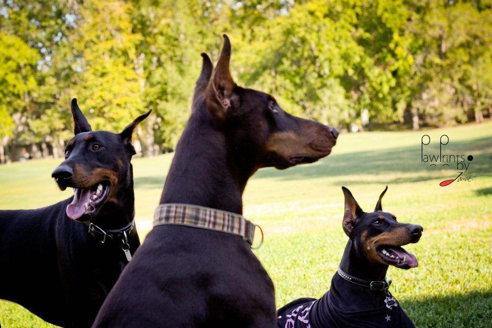 The doberman gang   Doberman, Doberman love, Pets
