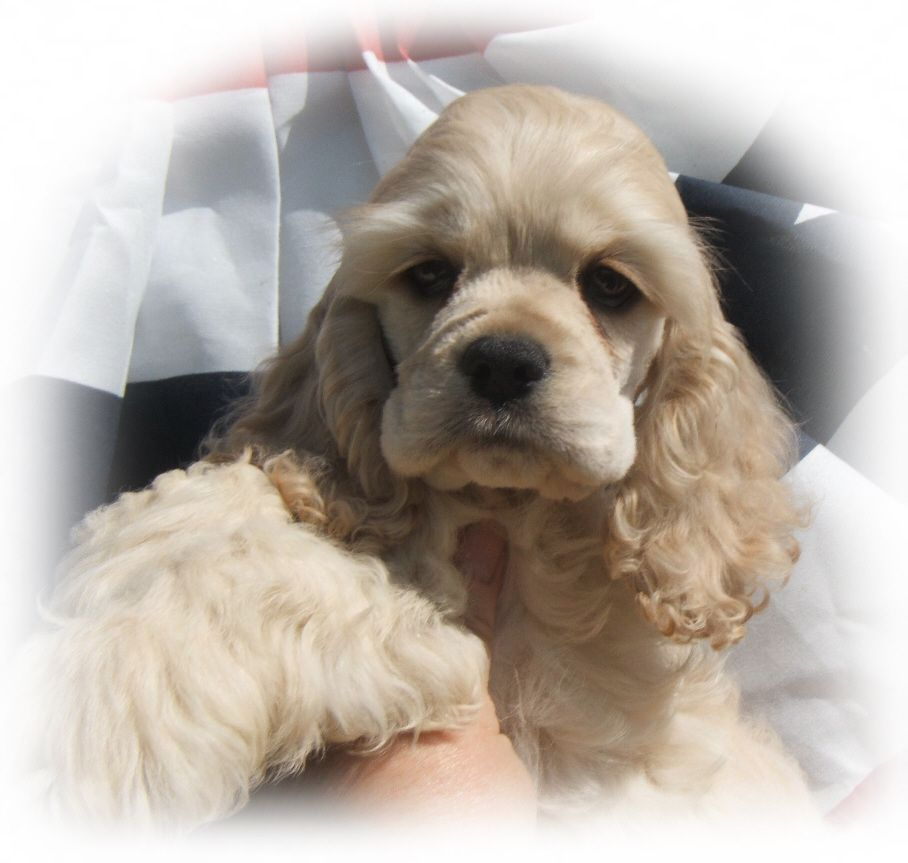 Cocker Spaniel Puppies Cocker Breeder Cocker Spaniel Puppies For Sale Cocker Pups Ny Champion Cocker Spaniel Breeds Cocker Spaniel Miniature Cocker Spaniel