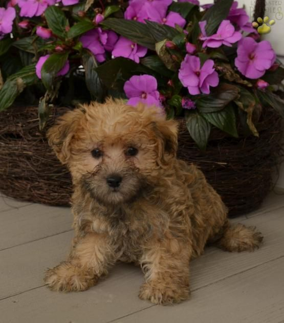 Pin By Linda Pointkowski On Animals Cute Baby Animals Teacup Puppies Teacup Puppies Maltese