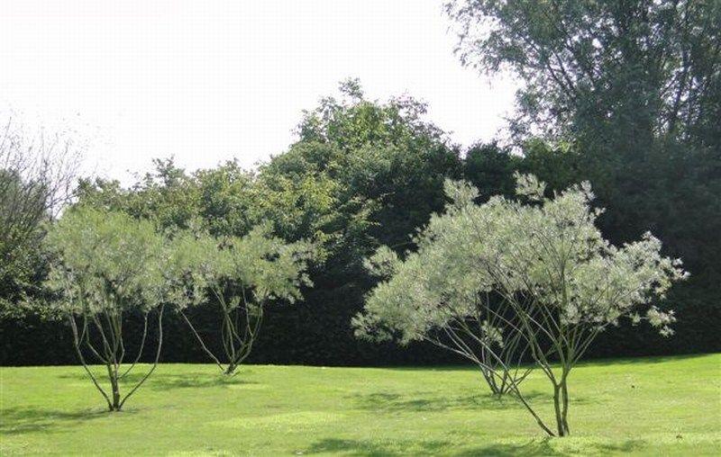 Spiksplinternieuw Salix rosmarinifolia meerstammig | trees , drzewa, Bäume, дерево AB-14