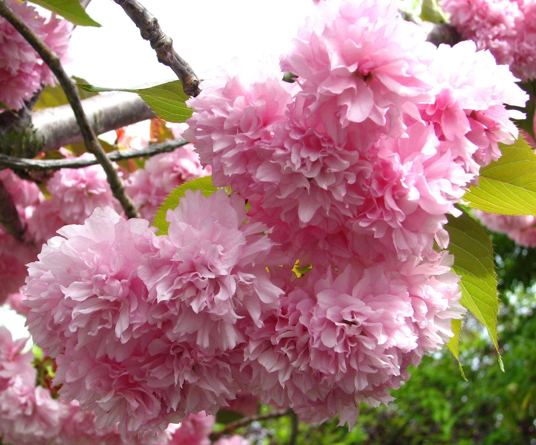 Blossom Cluster Flower Fluffy Fruit Tree Nature Pink Plant Spring Pink Plant Spring Wallpaper Plants