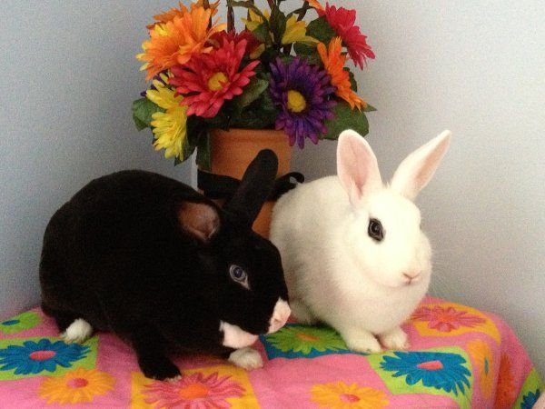 Niko And June Bug Have Been Adopted The Georgia House Rabbit Society House Rabbit Society