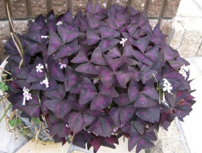 purple shamrock oxalis house plant care tips - Flowering House Plants Purple