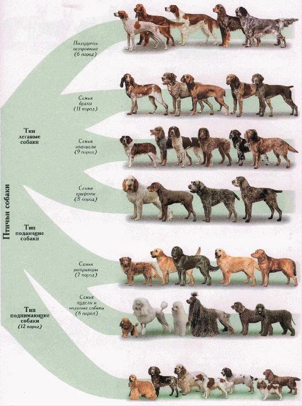 Классификация пород собак с картинками