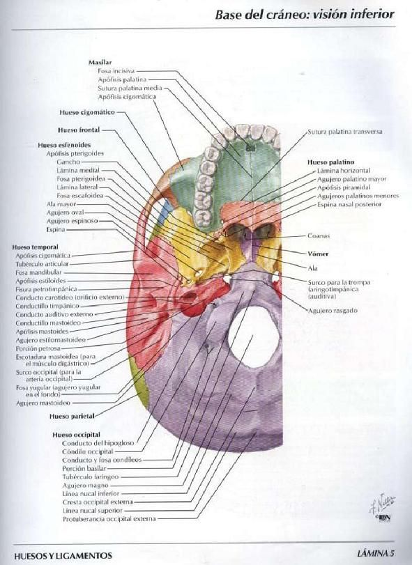 Bibliografia Atlas de Anatomia Humana de Frank H. Netter | Anatomía ...
