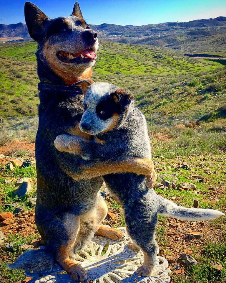 Pin By Emily Cook On Dogs With Images Aussie Cattle Dog Heeler Puppies Austrailian Cattle Dog