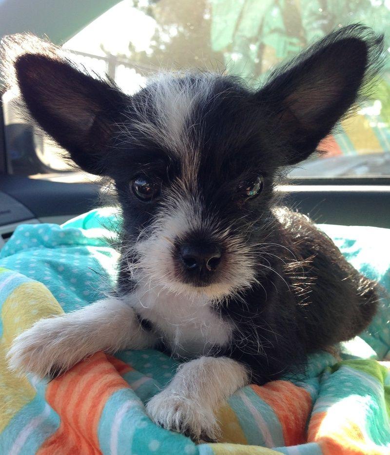Minnie Mouse Yorkie Chihuahua Mix Yorkie Chihuahua Mix Dog