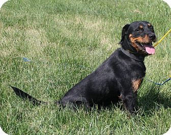 Miniature Rottweiler Pictures Google Search Rottweiler