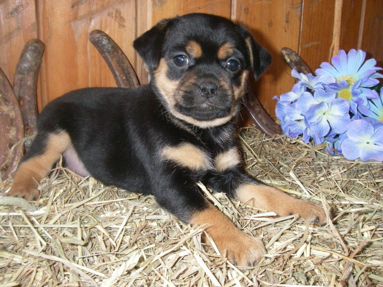 Black and Brown Boxer Pug Mix Puppies Animals