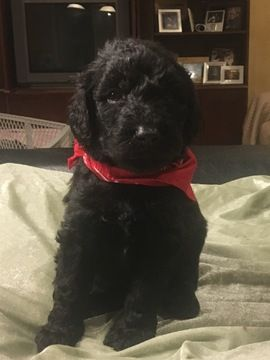 Labradoodle Puppy For Sale In Paducah Ky Adn 42136 On Puppyfinder