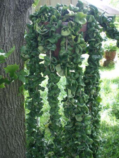 Succulent hanging baskets problems solved dallas horticulture home - Cool succulent plants ...