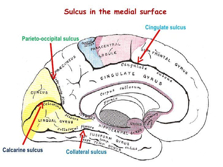 Corpus Callosum 18 Cingulate Sulcus Parieto Occipital Sulcus