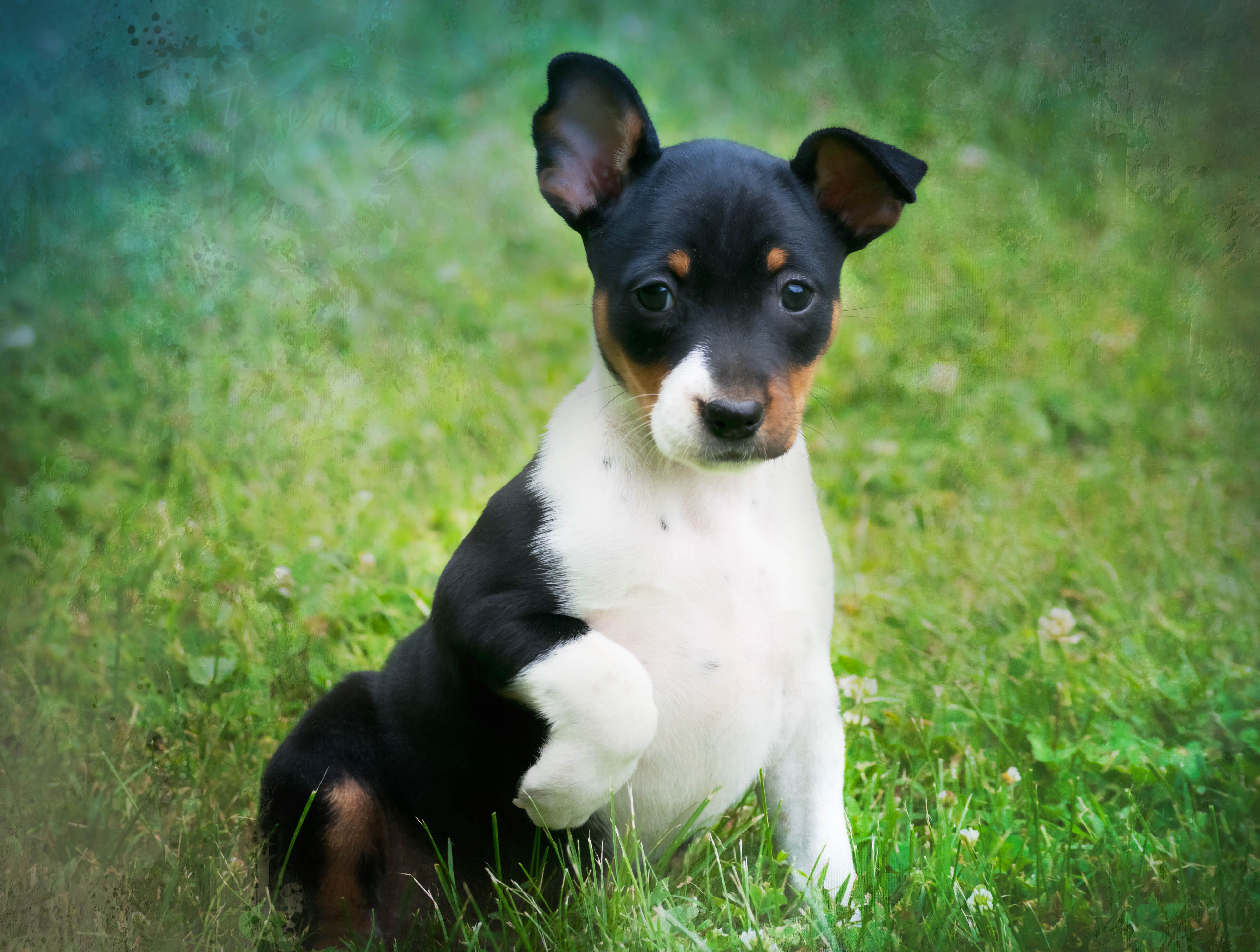 Briarbey Old Dominion Terrier Puppies Rat Terrier Puppies