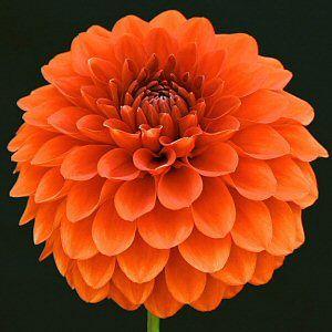 Orange Dahlia Google Search Orange Flowers Dahlias For Sale Amazing Flowers