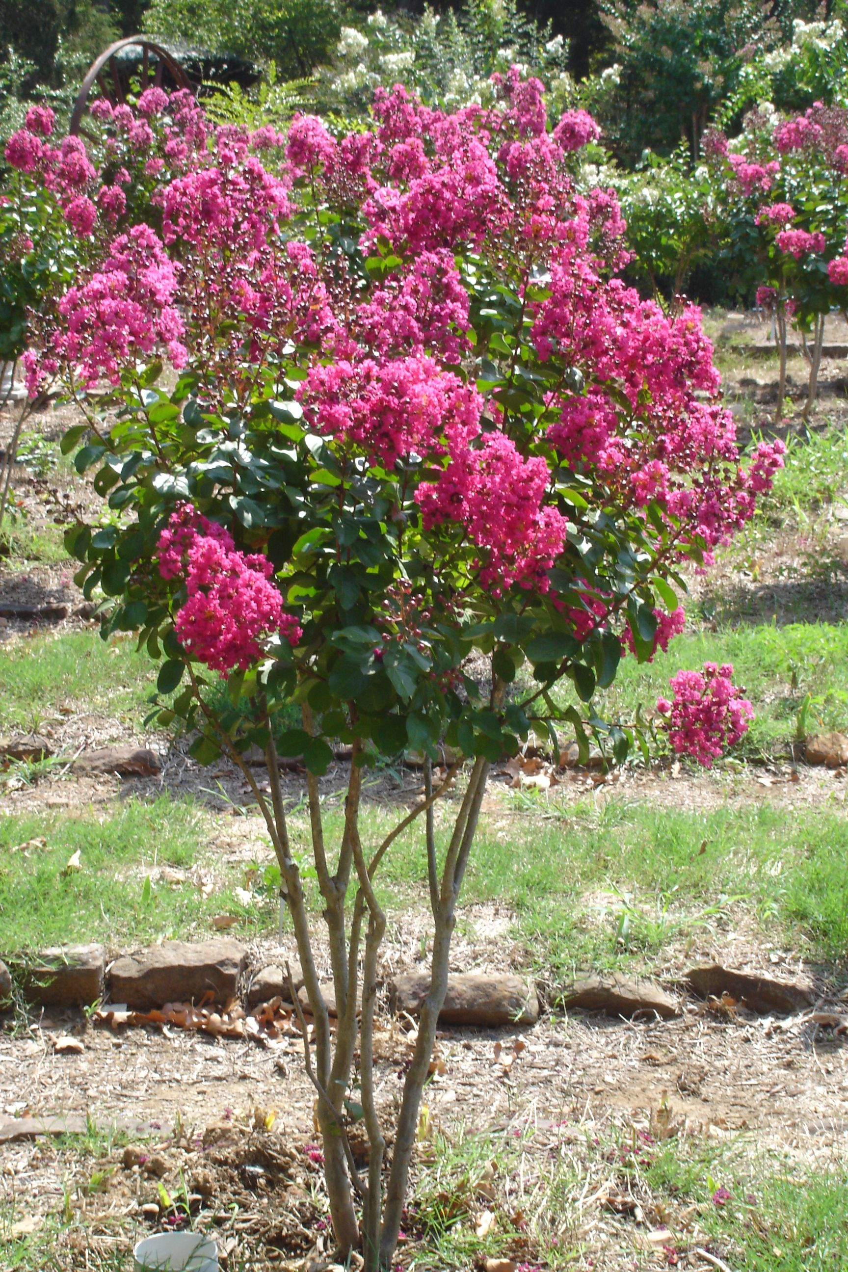 My favorite Crepe Myrtle Color is this \