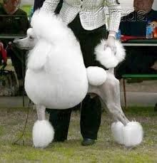 Image Result For Poodle Continental Clip Poodle Toy Poodle Training