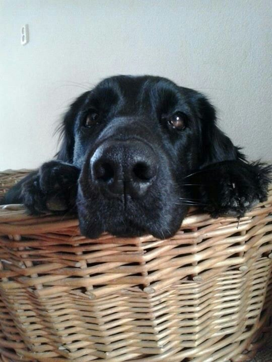 Tess Flatcoated Retriever Hunde Tiere