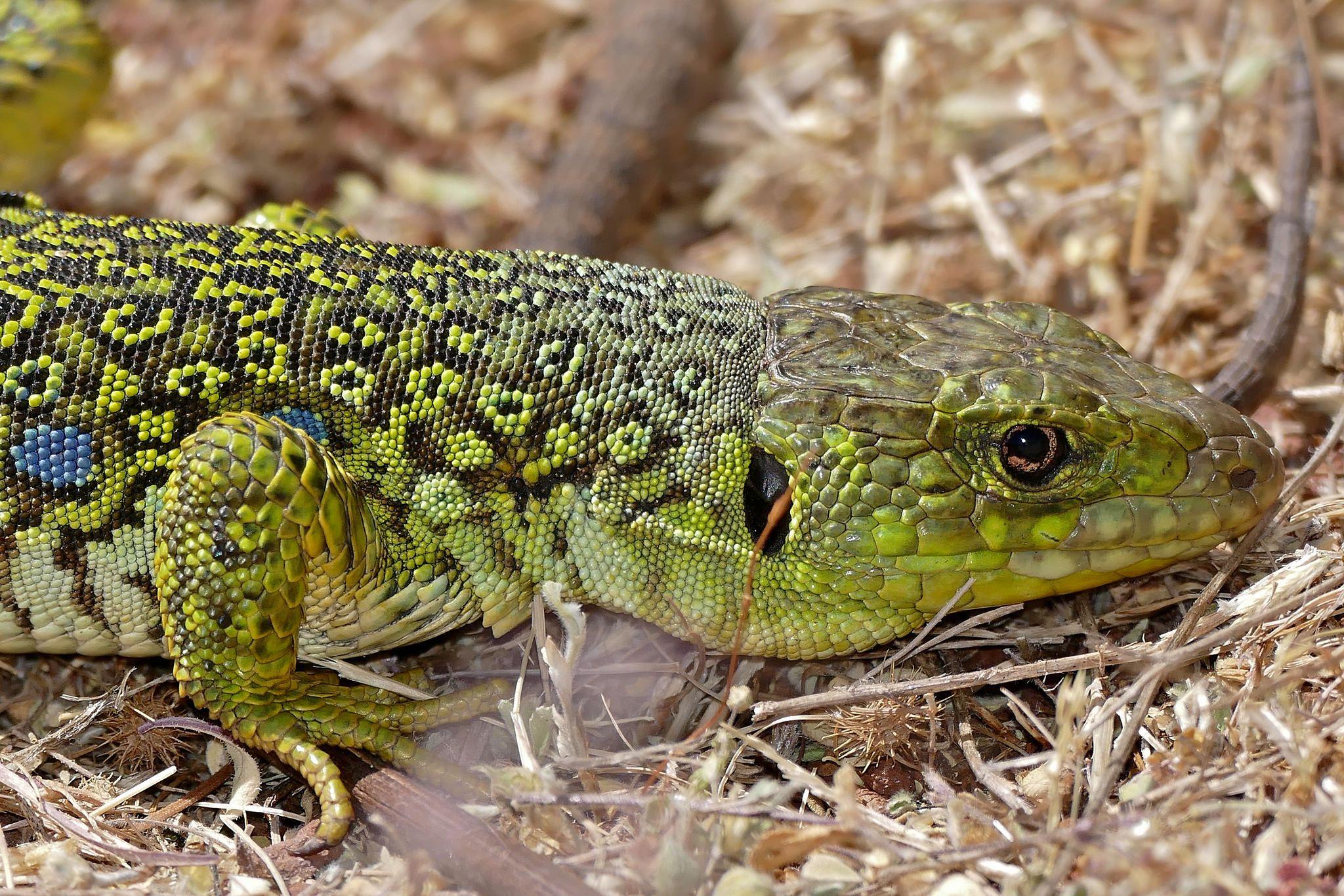 jewelled lizard
