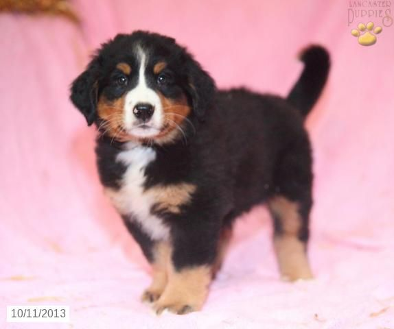 Roxanne - Bernese Mountain Dog Puppy for Sale in Paradise, PA - Bernese Mountain Dog - Puppy for Sale