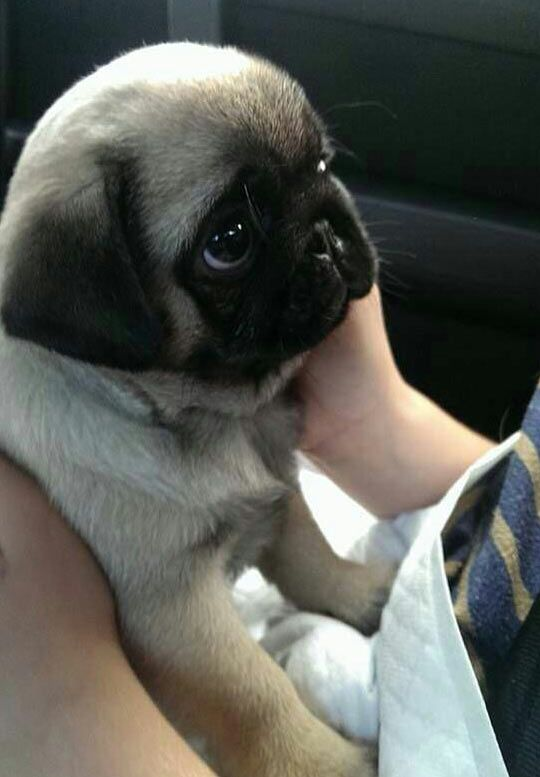 Baby Pug Baby Pugs Cute Animals Cute Baby Pugs